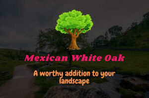 Mexican White Oak – A worthy addition to your landscape