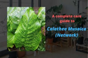 Calathea Musaica (Network)- Care tips for Calathea Network