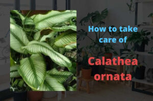 Calathea ornata plant care guide (The Pinstripe Plant)
