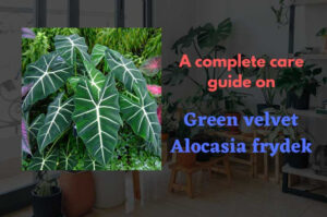 How to grow green velvet Alocasia frydek – A complete care guide