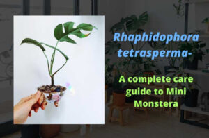A complete care guide to Rhaphidophora tetrasperma