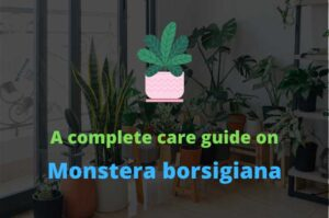 A complete care guide on Monstera borsigiana