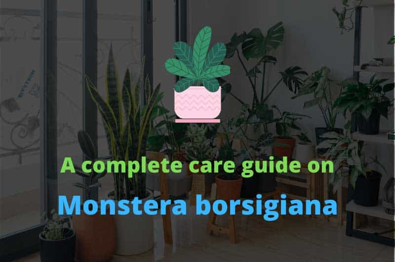 A-complete-care-guide-on-monstera-borsigiana