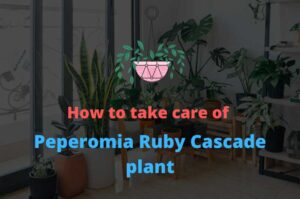 Peperomia Ruby Cascade -A SUPER EASY indoor plant to grow