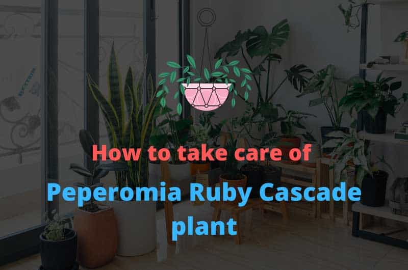 How-to-take-care-of-Peperomia-Ruby-Cascade