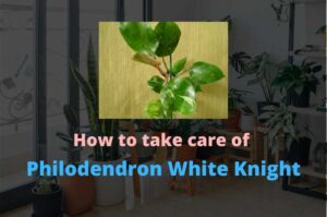 Philodendron White Knight – An easy to grow Philodendron