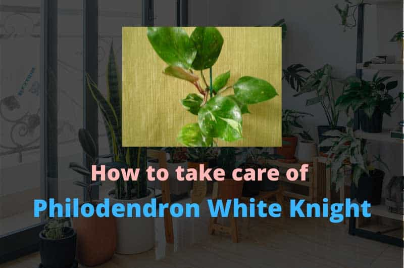How-to-take-care-of-philodendron-white-knight