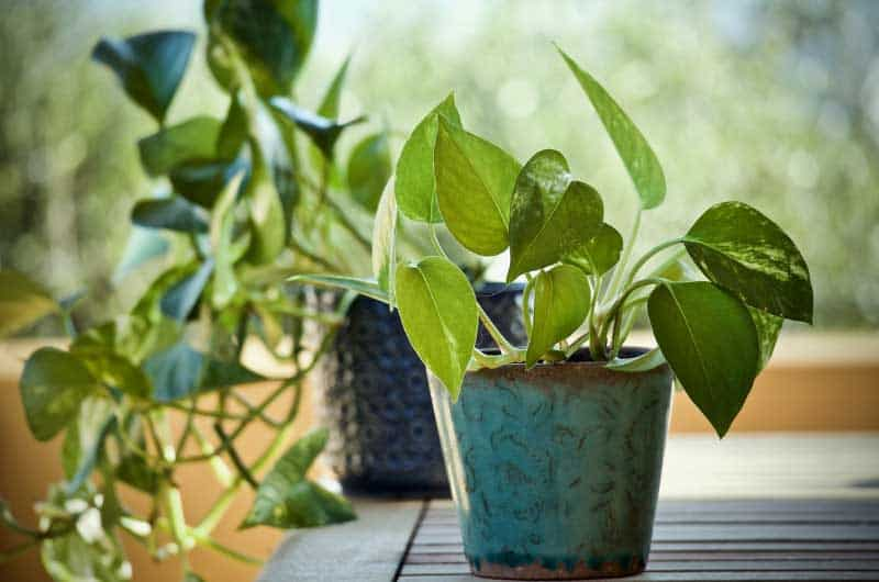 Why-is-Golden-pothos-called-Devil's-Ivy