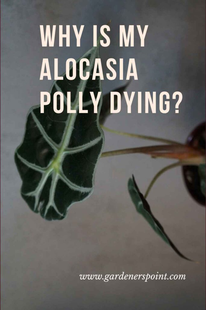 alocasia_polly_dying