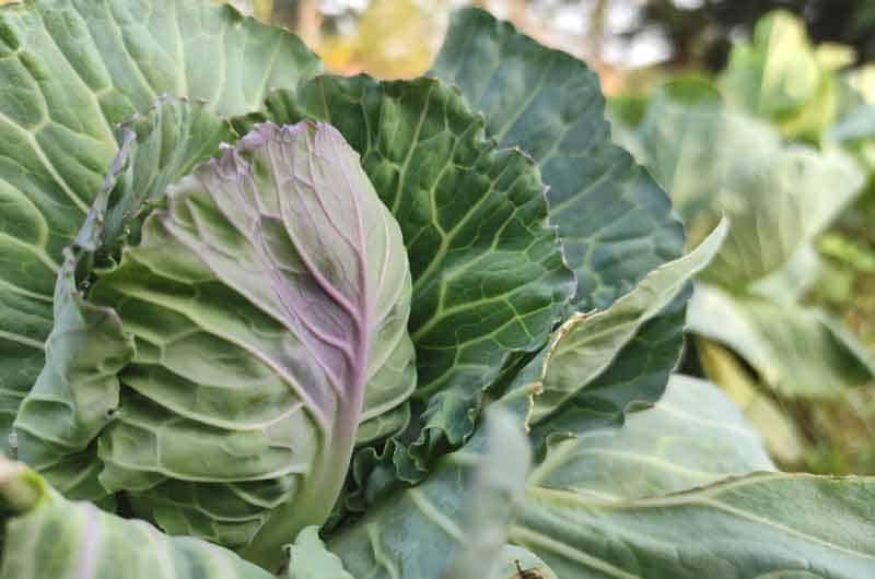 cabbage-leaves-turning-purple