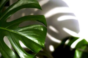Do philodendrons like to be misted?