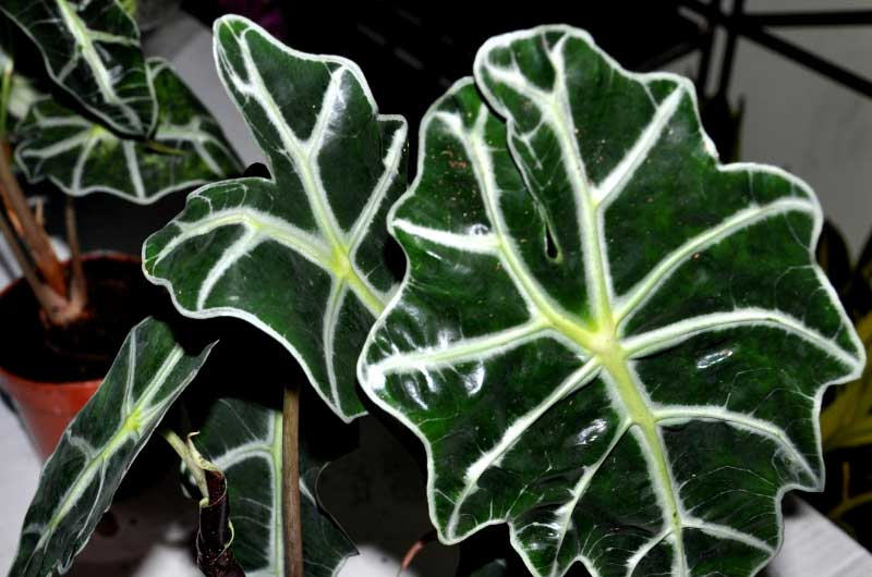 why_is_my_alocasia_polly_dying