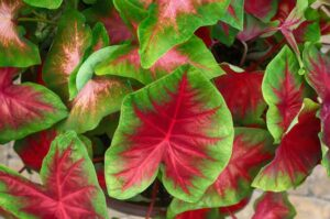Why Is My Caladium Drooping? (6 Different Causes and Their Solutions)