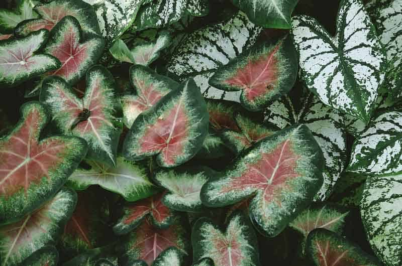 why-is-my-caladium-not-growing