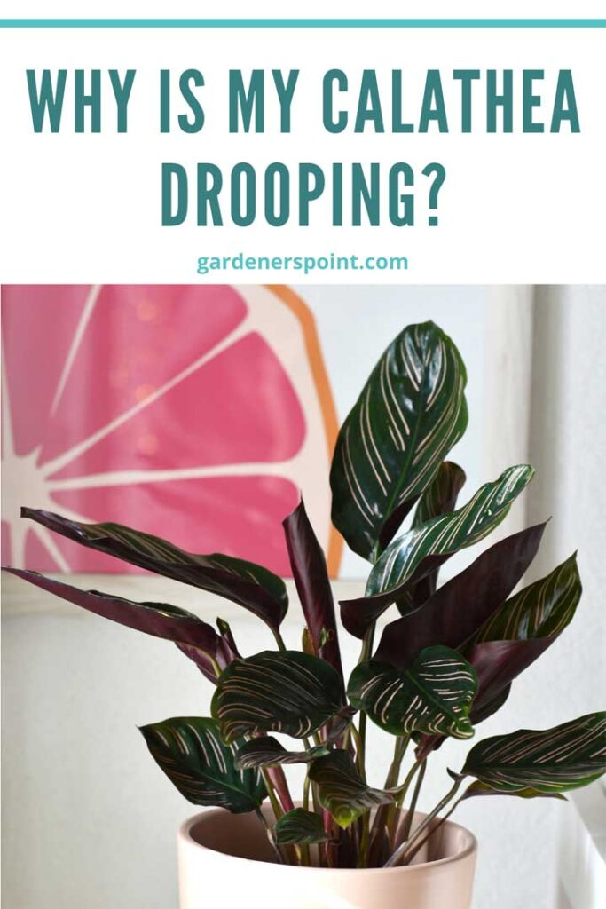 why-is-my-calathea-drooping
