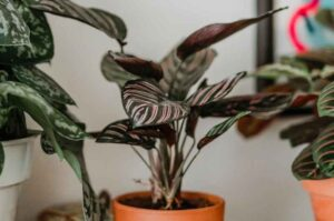 Why Is My Calathea Drooping? (Causes and Solutions)