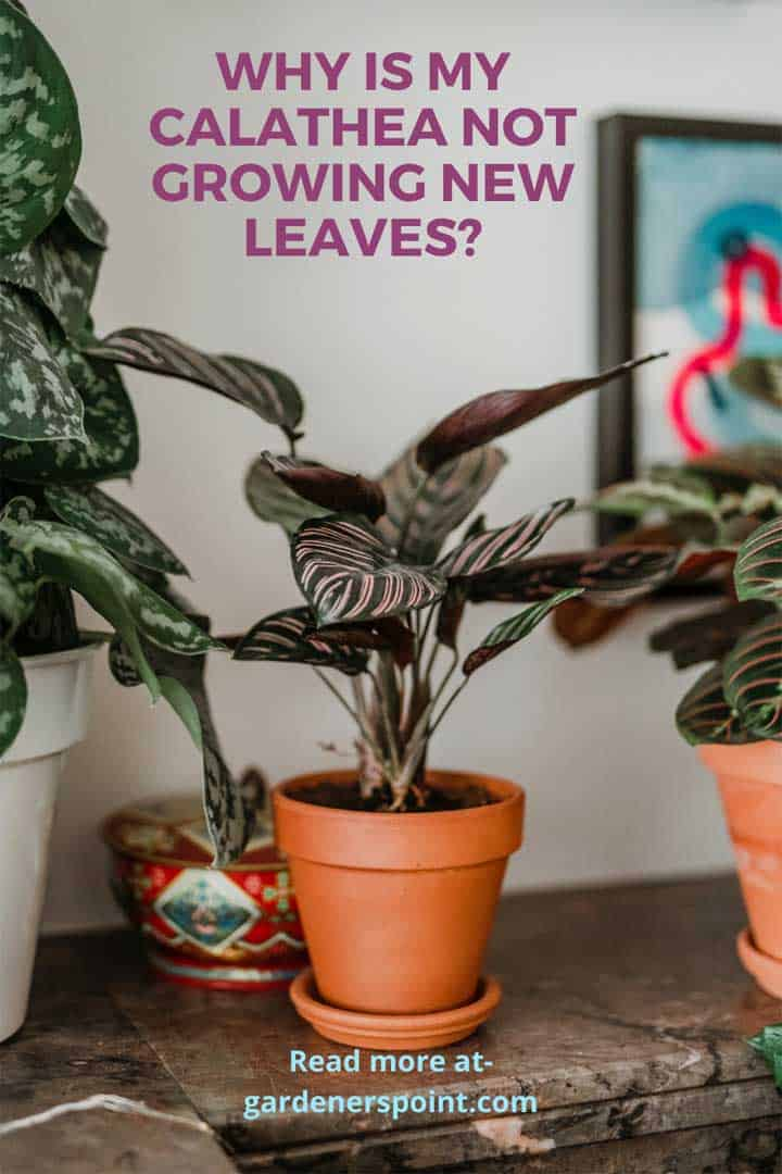 why-is-my-calathea-not-growing-new-leaves