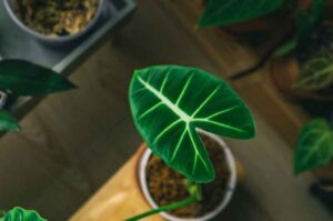 Why is My Alocasia frydek Turning Yellow? (8 Easy Fixes)