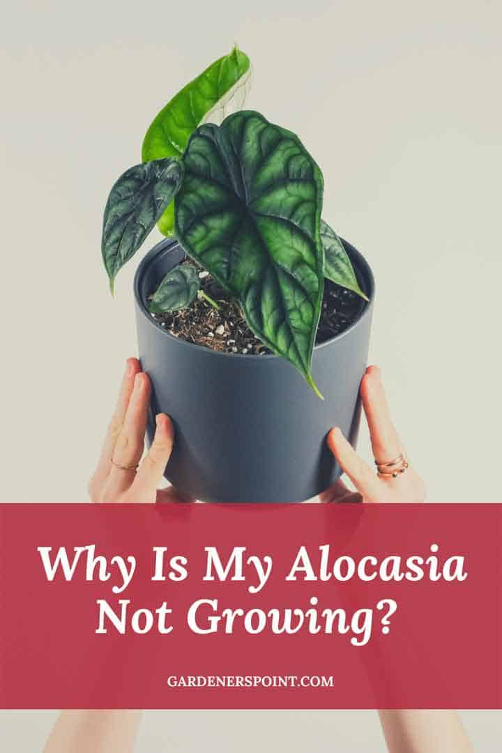 why-is-my-alocasia-not-growing