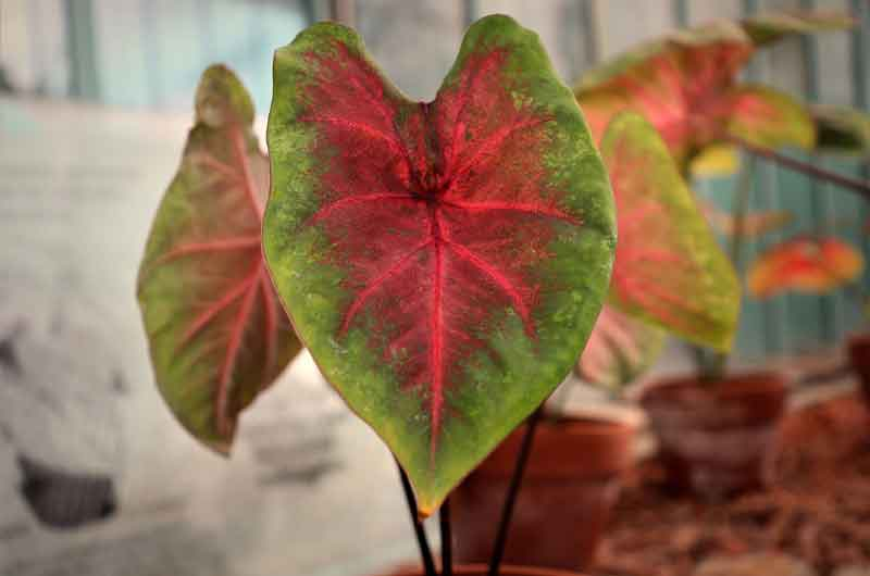 why-is-my-caladium-dying