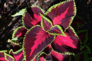 Why is My Coleus Losing its Color? (Solutions Explained)