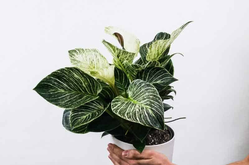 why-is-my-philodendron-drooping