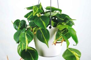 Why is My Philodendron not Growing? (Causes and Solutions)
