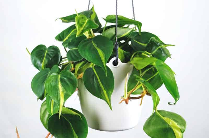 why-is-my-philodendron-not-growing