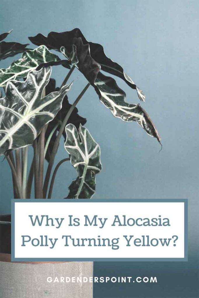 why-is-my-alocasia-polly-turning-yellow-