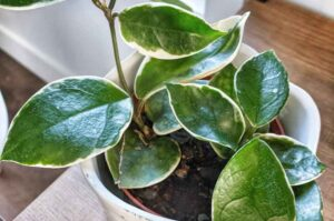 Why Is My Hoya Plant Dying? How To Save A Dying Hoya Plant?