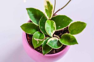 How To Make Hoya Grow Faster? (Easy fixes)