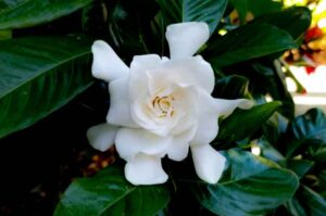 Why Is My Gardenia Not Flowering? (Causes and Solutions)