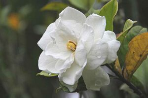 Why Is My Gardenia Wilting? (7 Causes and their Solutions)